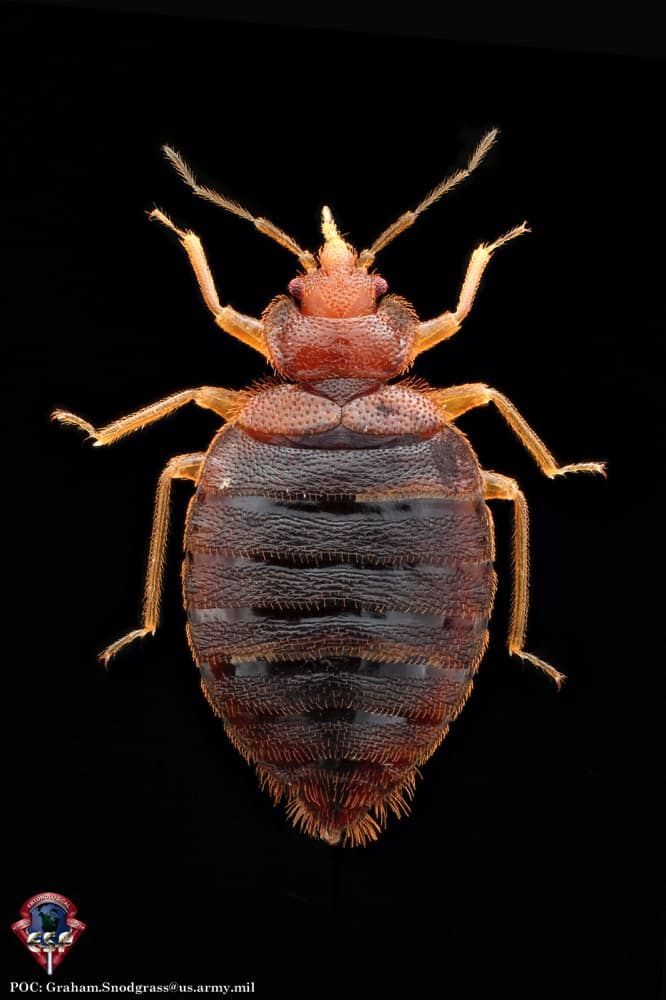 Do Bed Bugs Fly Do They Have Wings Pestseek