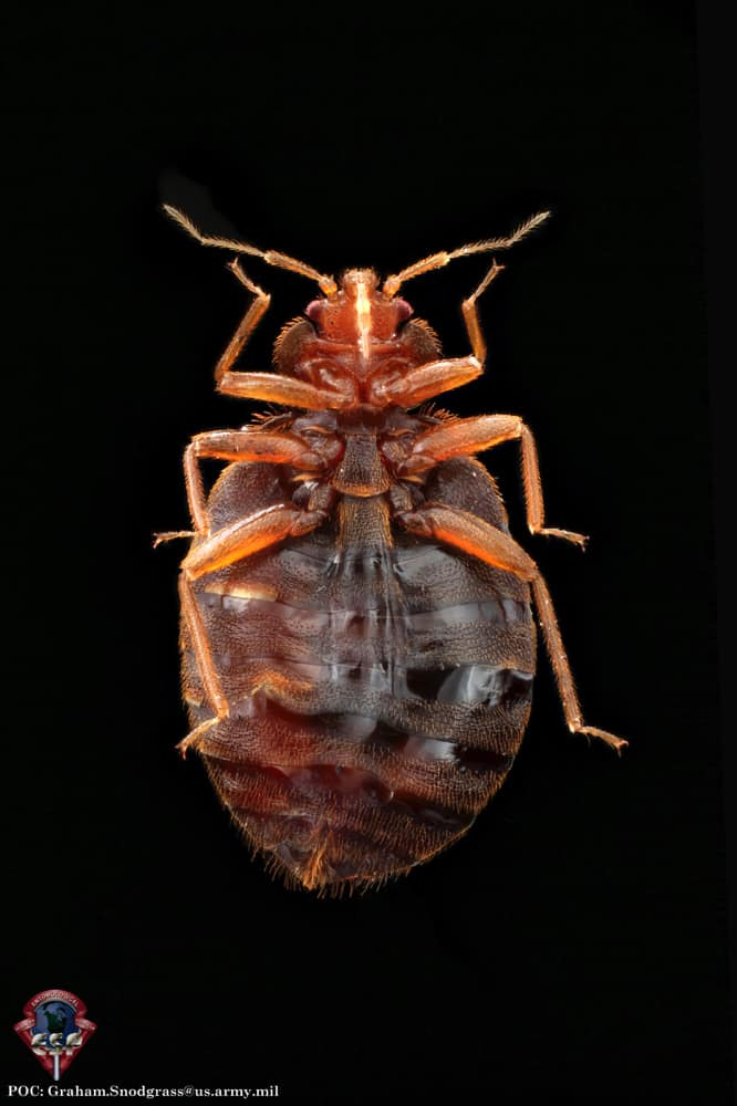 Bed Bug Life Cycle A Guide To All Stages Pestseek