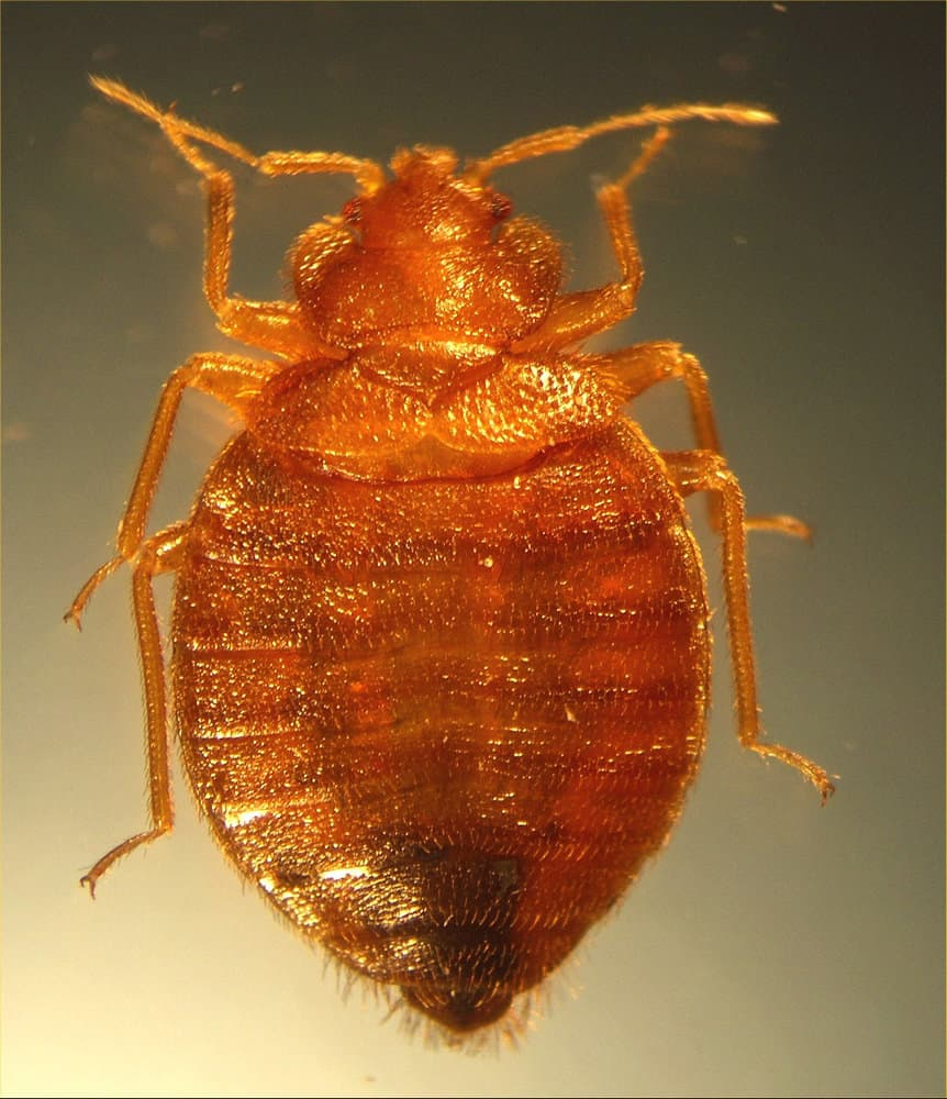bed bug shells skins casings what you need to know pestseek