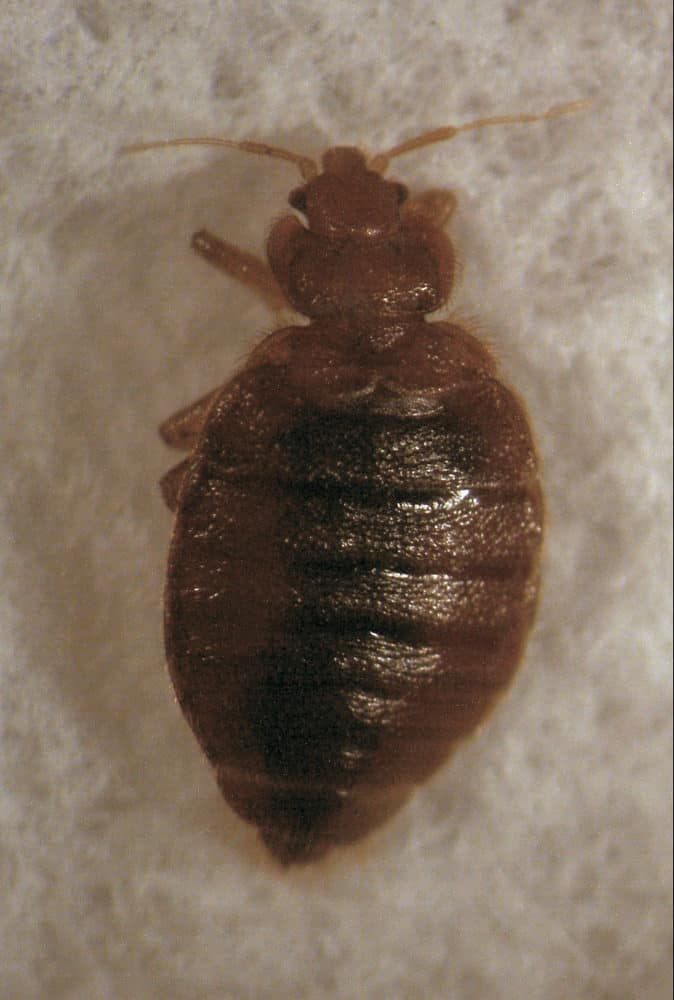Bed Bug Predators: What Eats Bed Bugs?
