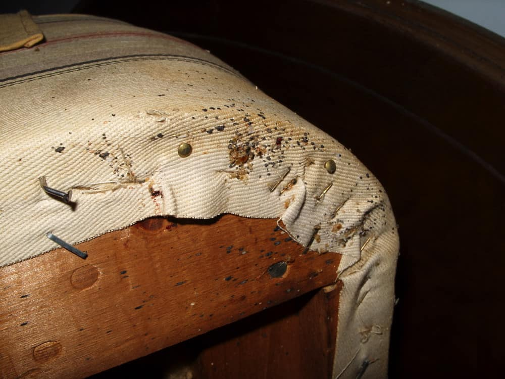 Can Bed Bugs Live In Your Hair Pestseek