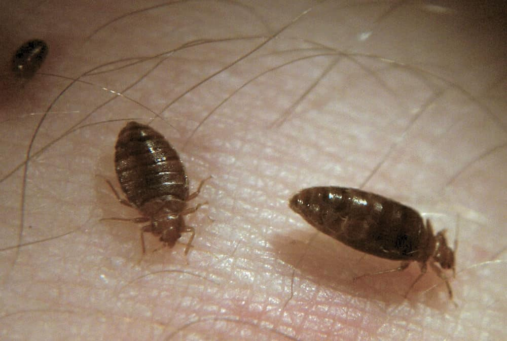 Do Bed Bugs Itch Can You Feel Them Crawl On You Pestseek