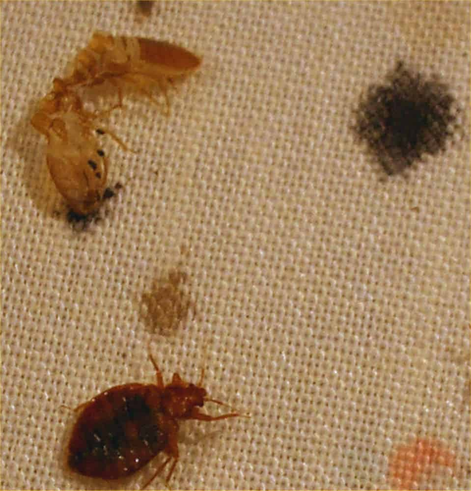 I Found One Bed Bug But No Others What Should I Do Pestseek