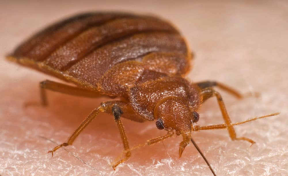 How Long Do Bed Bugs Live Pestseek