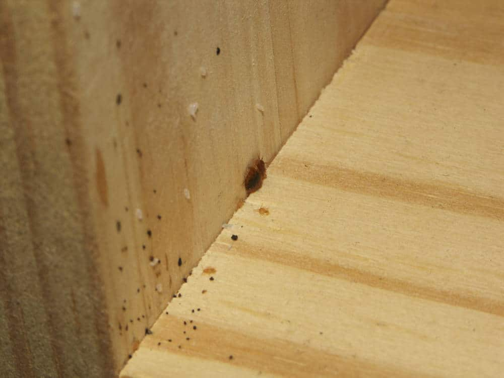 Bed Bug Poop Fecal Stains What You Need To Know Pestseek