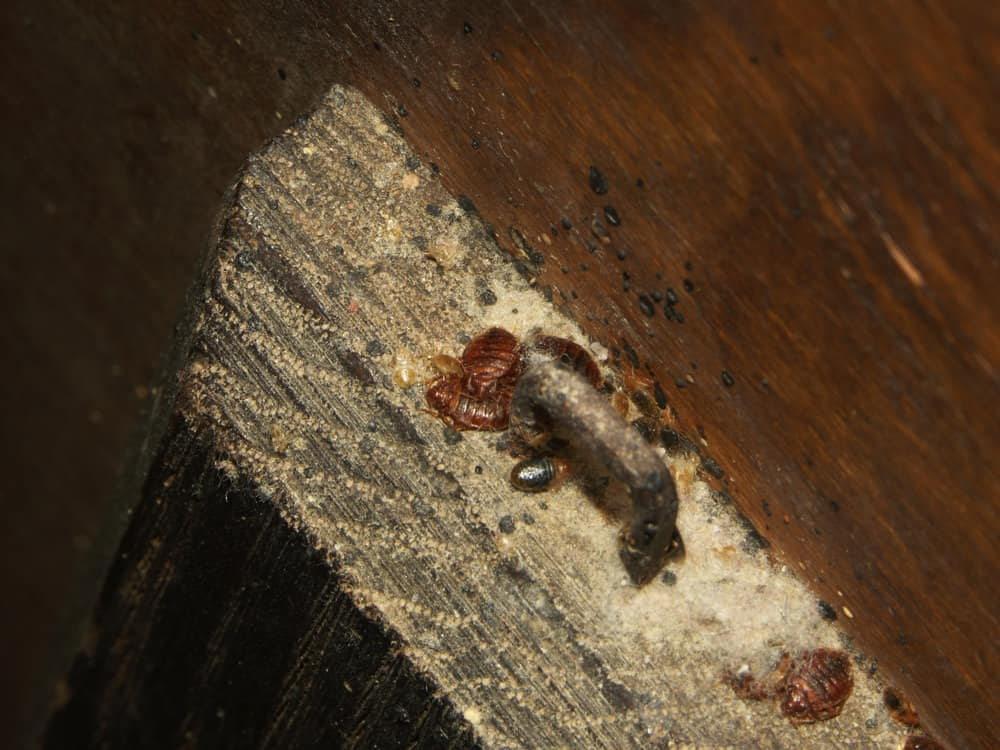 Can Bed Bugs Live In Wood What You Need To Know Pestseek