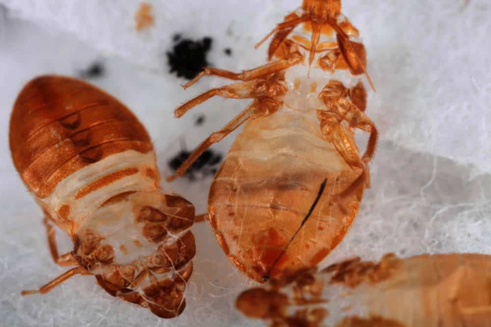 Bed Bug Shells, Skins & Casings – What You Need To Know