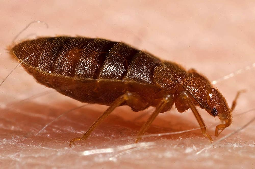How Long Can Bed Bugs Live Without Food Pestseek
