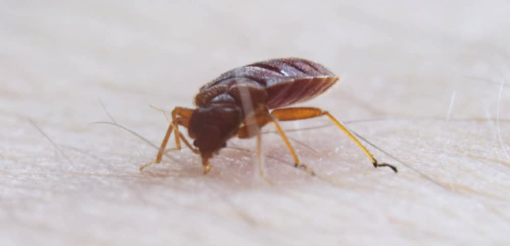 Does Alcohol Kill Bed Bugs Effectively?