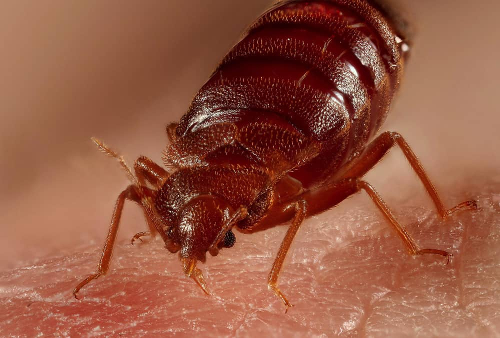 How To Get Rid Of Bed Bugs Fast
