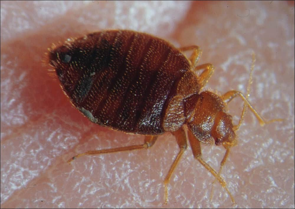 Adult Bed Bugs: A Visual Guide