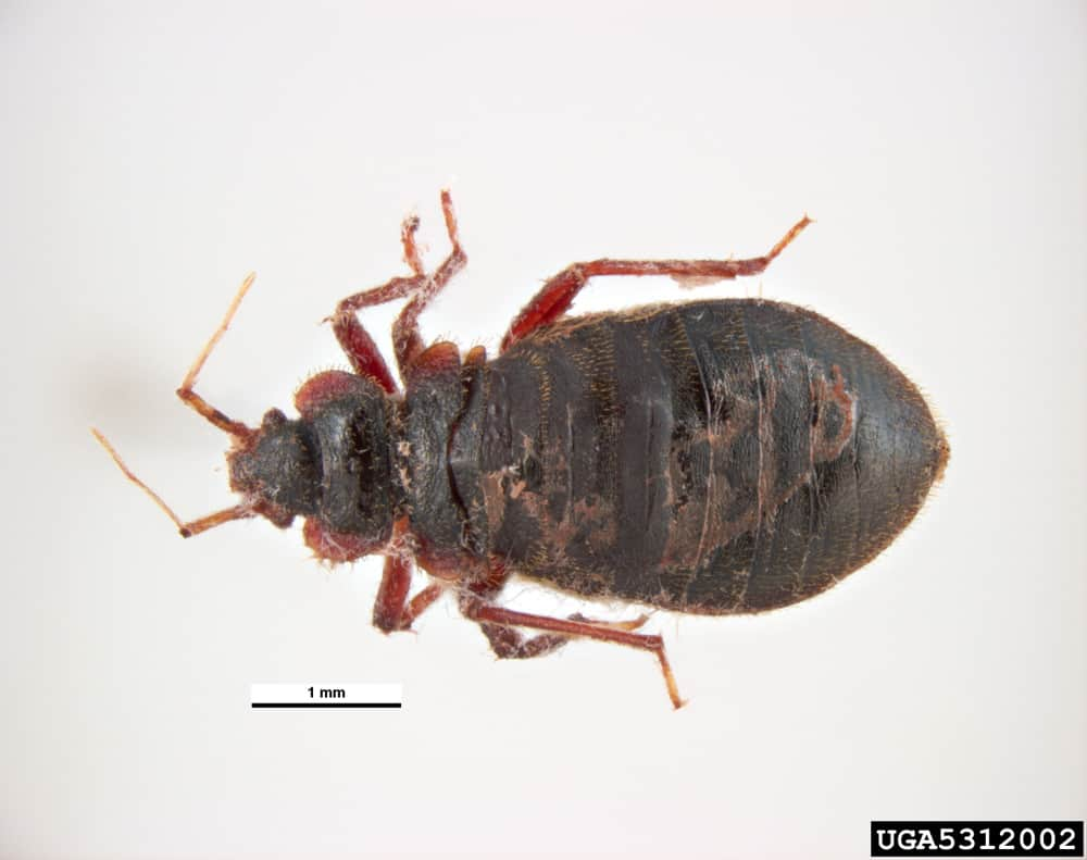 Bed Bug Size