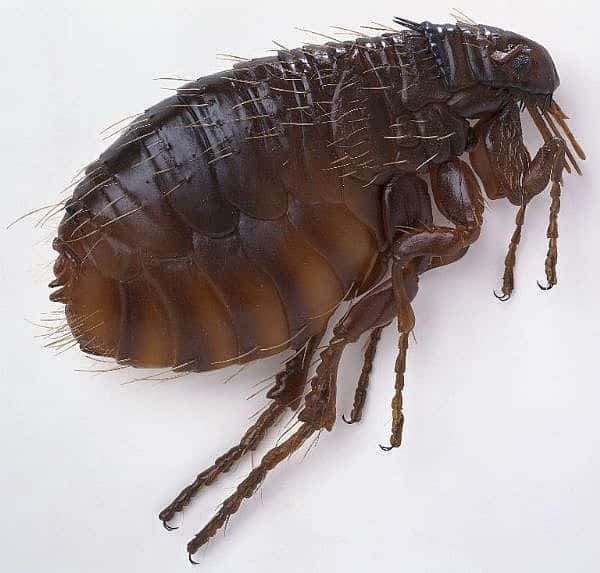 Bugs That Look Like Bed Bugs – Mistaken Identities | PestSeek