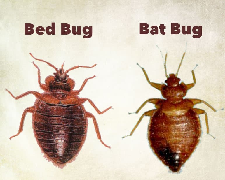 bat bug vs bed bug