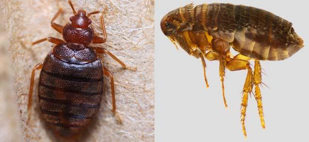 Bed Bug Vs Flea