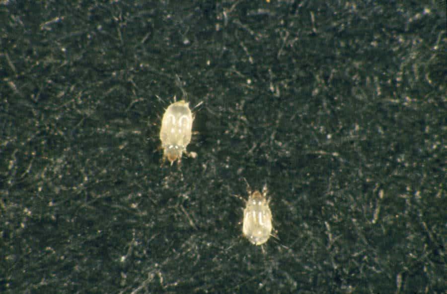 Bugs That Look Like Bed Bugs Mistaken Identities Pestseek