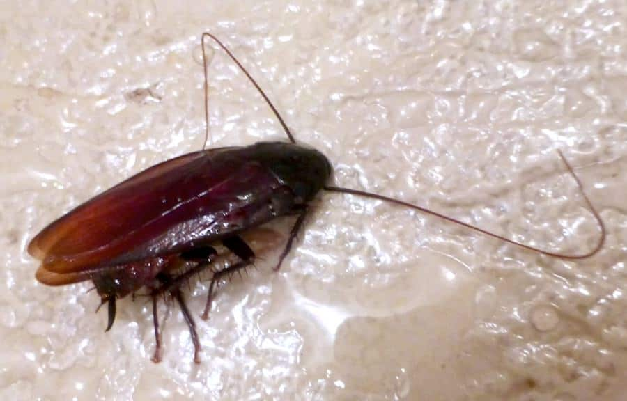 Cockroach eats bed bugs