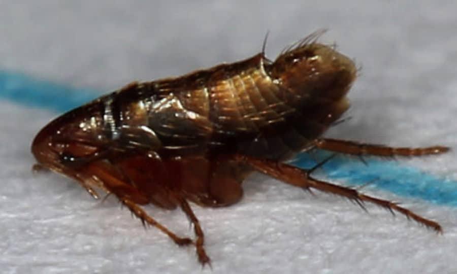 Side-On Flea