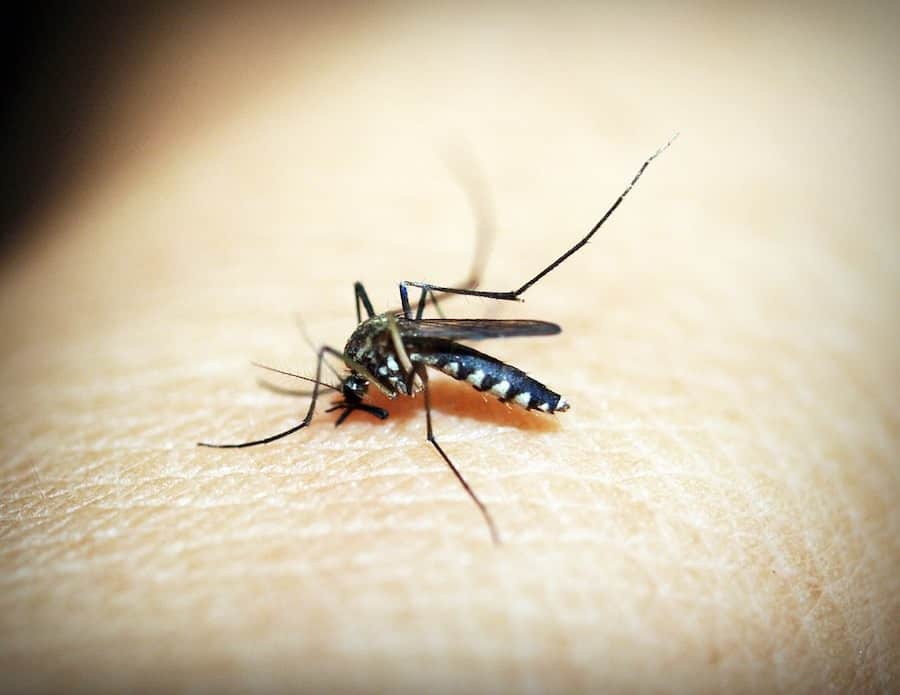 What Do Mosquitoes Eat?