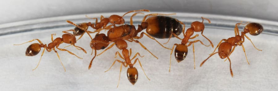 Pharaoh Ants eat bed bugs