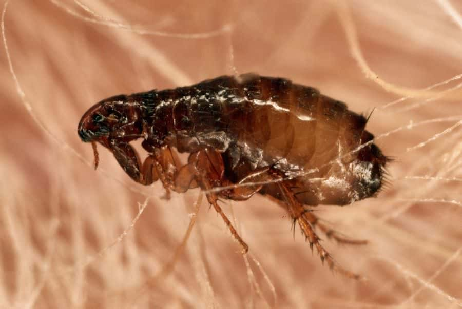 lifespan of a flea
