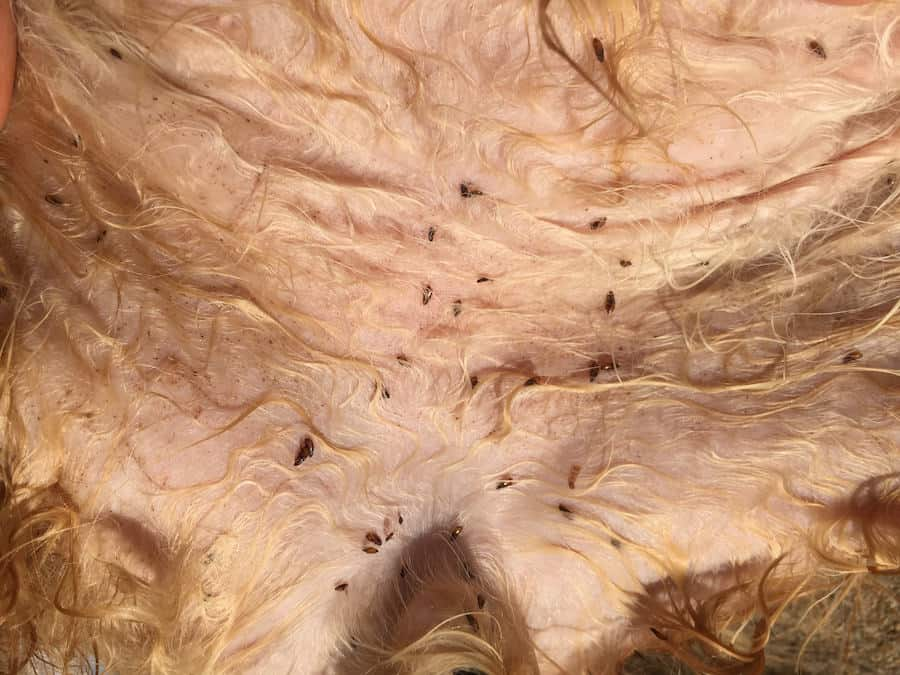 fleas on cat's stomach