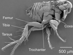 The legs of a flea have perfectly evolved for jumping large distances in relation to its body size