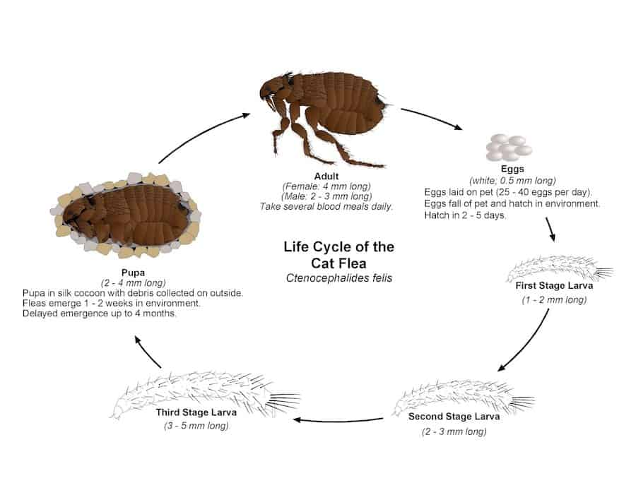 Flea Life Cycle Larva Stages