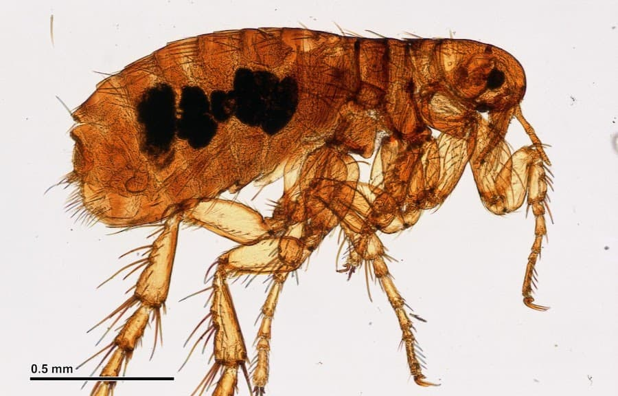 What Do Fleas Look Like? (Visual Guide)