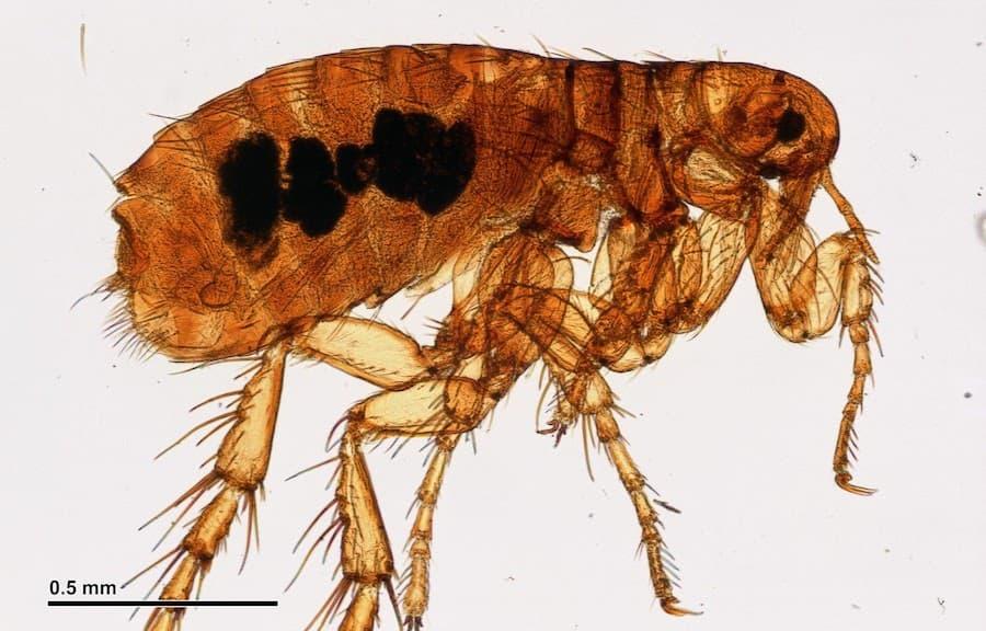 What Do Fleas Look Like? (Visual Guide)