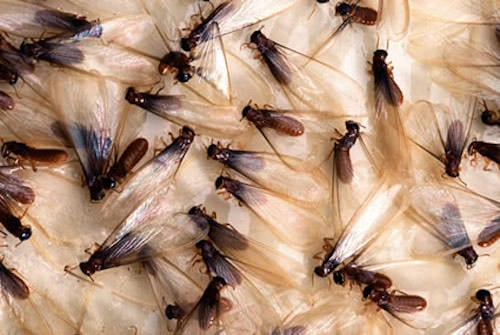 Flying Termites With Wings: Appearance & Treatment