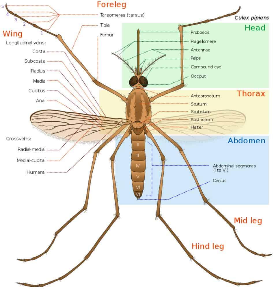 mosquito anatomy