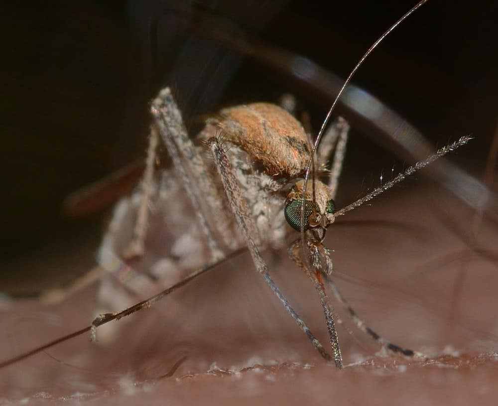 mosquito feeding close up