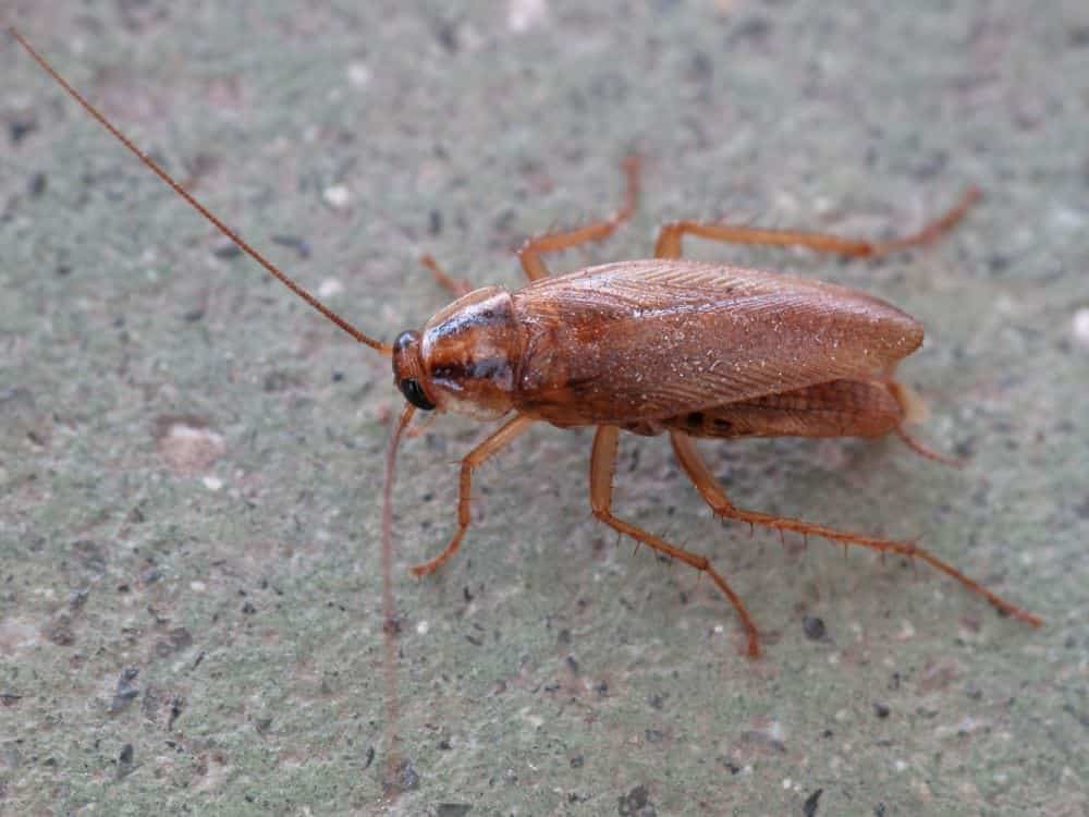 Where Do Roaches Come From?