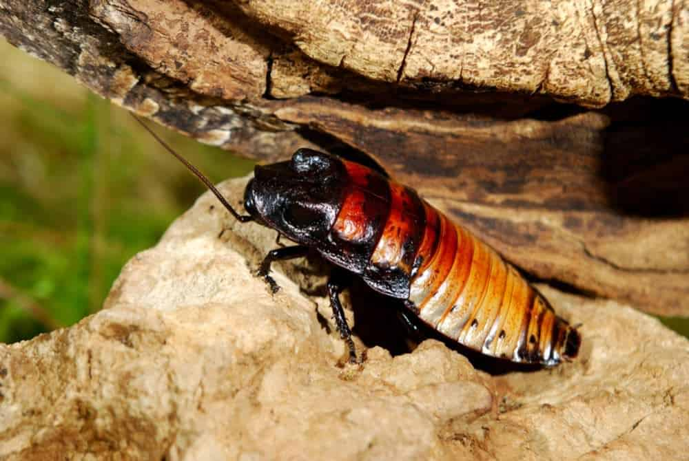 Madagascar Hissing Cockroaches: A Complete Guide