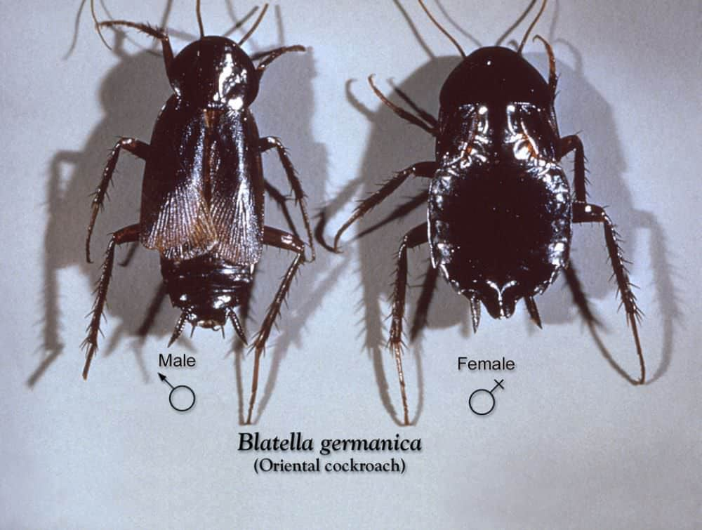 Oriental Cockroaches: A Complete Guice