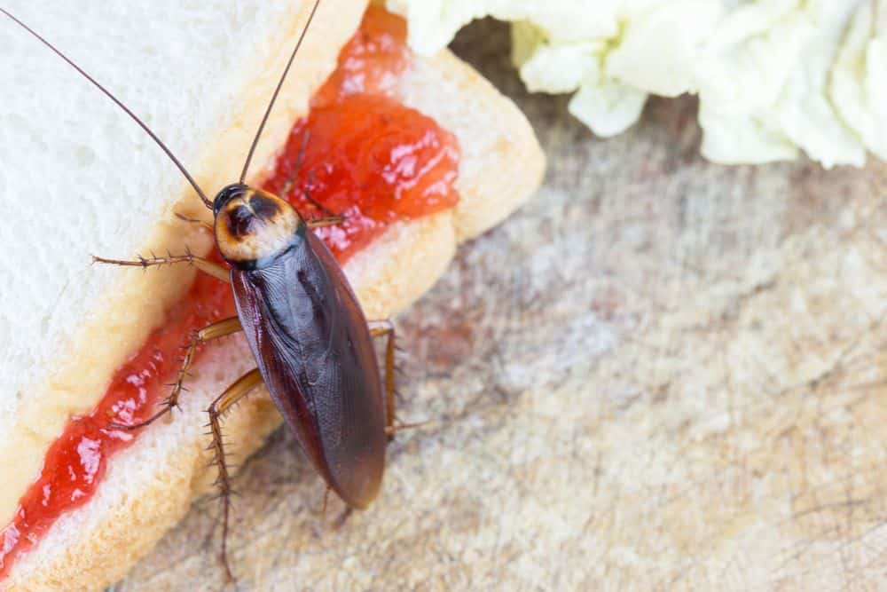 What Do Cockroaches Eat?