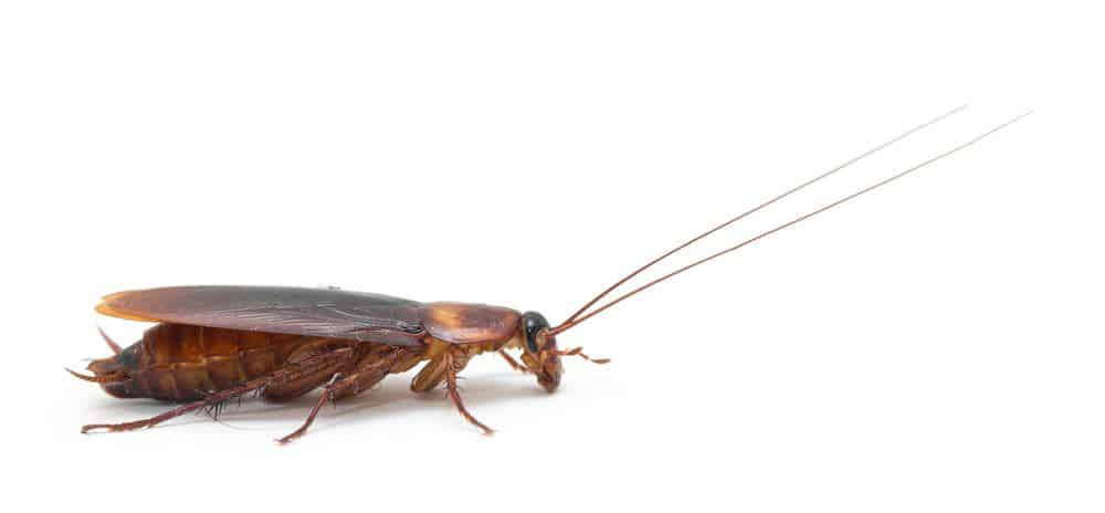 What Do Cockroaches Eat Pestseek