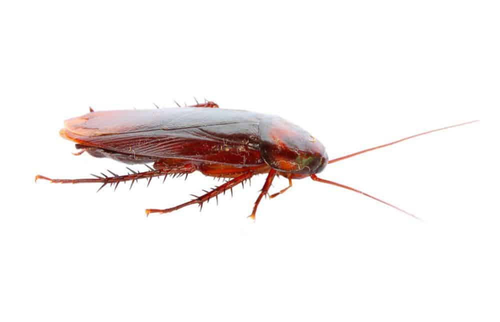 What Does A Cockroach Look Like?