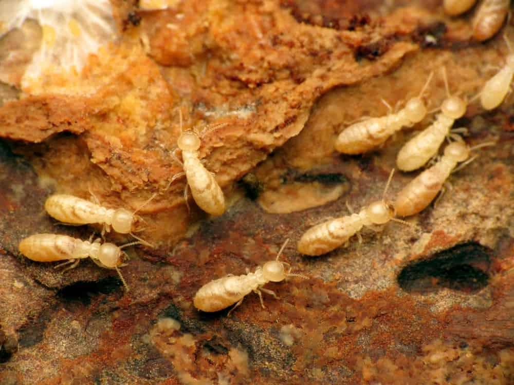 How Big Are Termites? (Size Guide)