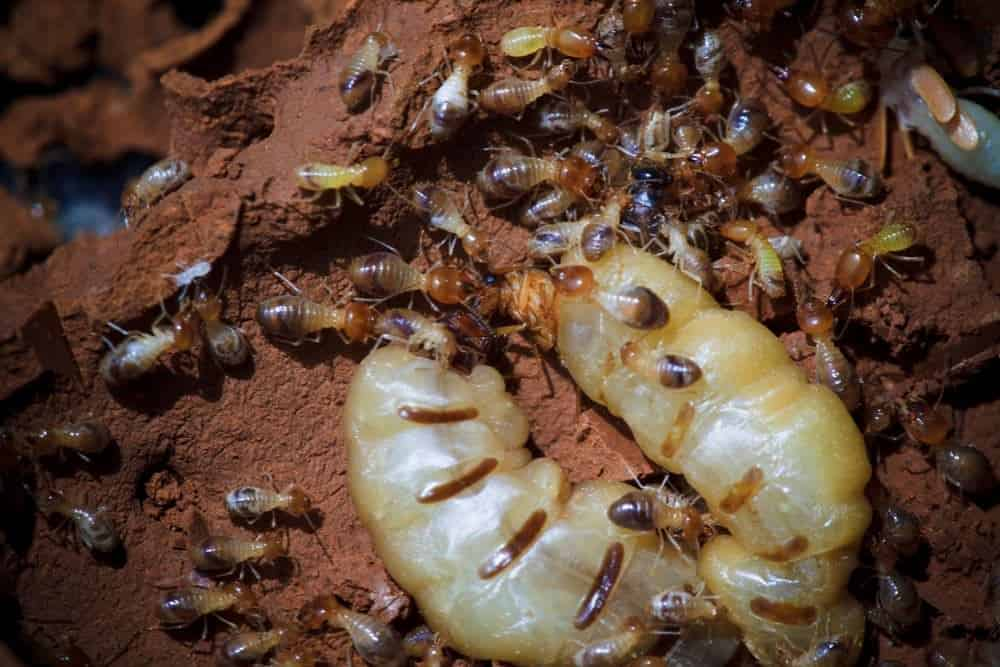 Termite Queen: Role, Appearance & Importance