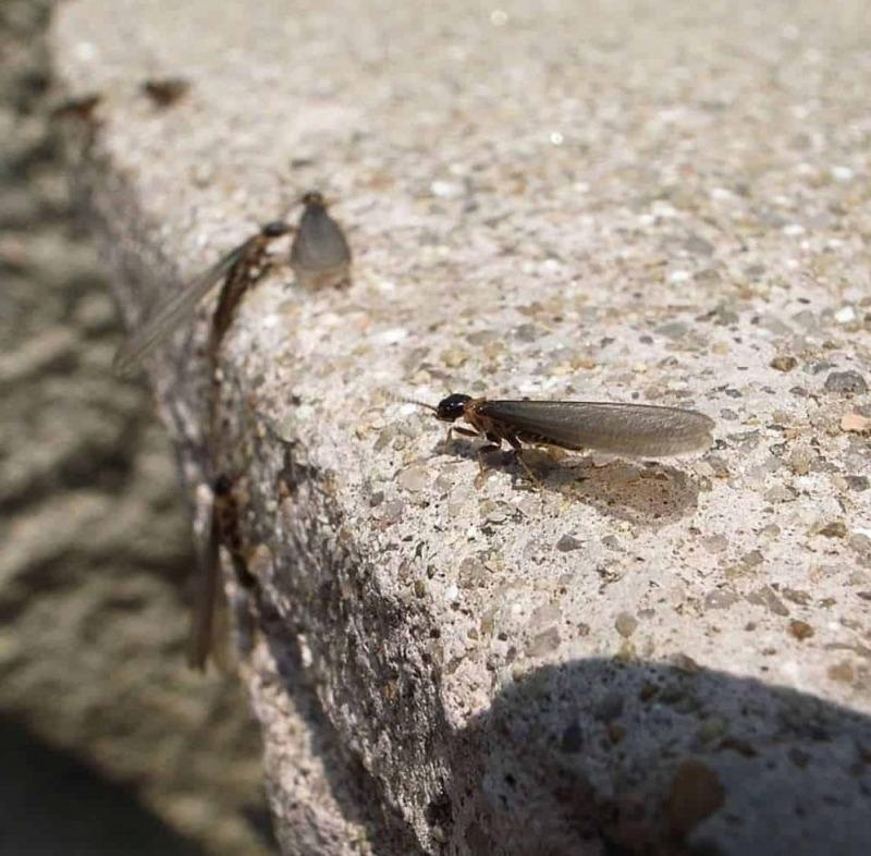 Bugs That Look Like Termites