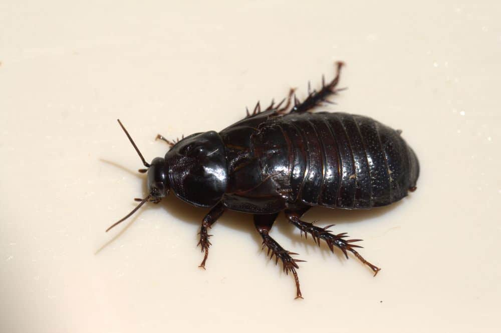 Wood Roaches: A Complete Guide