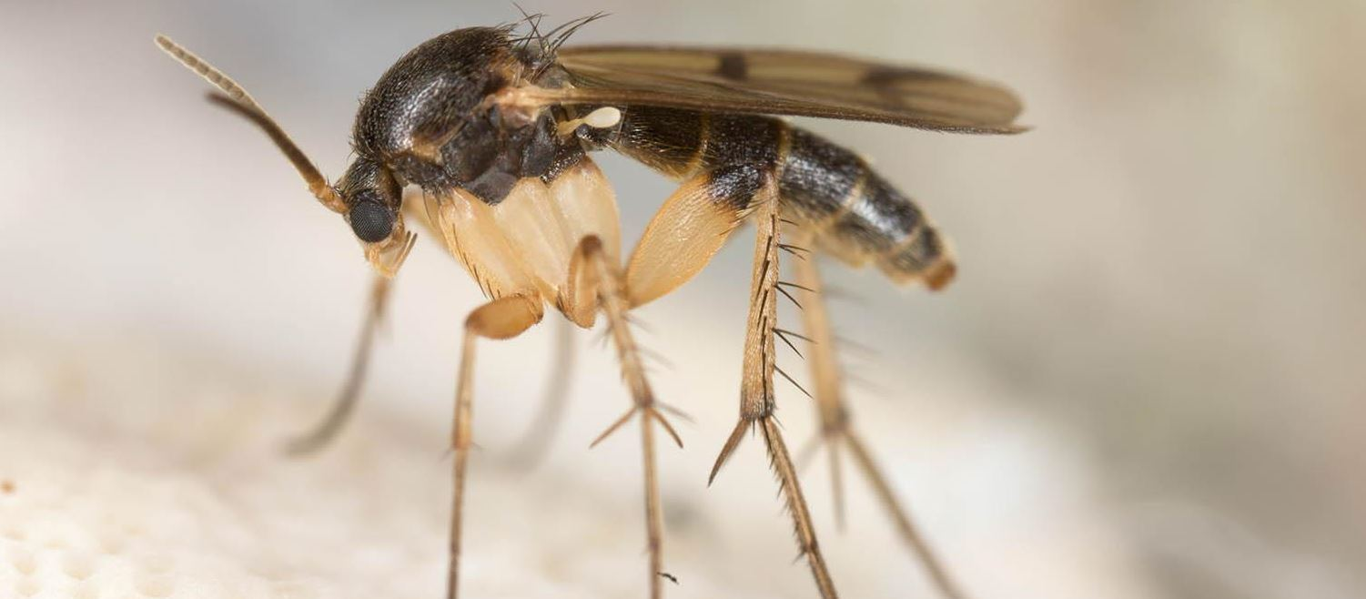 Lifespan of a Gnat: How Long Do They Live?